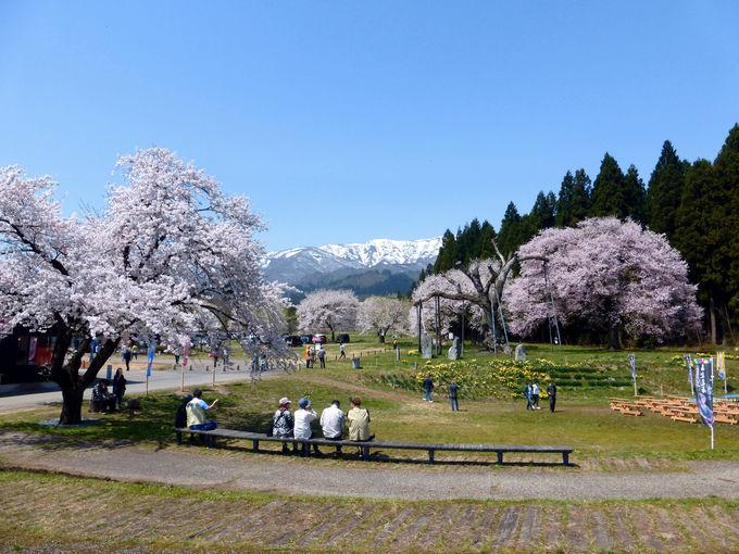 雪残る朝日連峰の背景が素晴らしい!釜の越農村公園の桜群