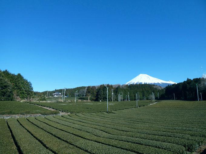 どこまでも続く無限の茶畑!
