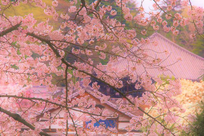 """""""お水取り""""に次いで春を告げる絶景の桜「奈良・東大寺二月堂」"""