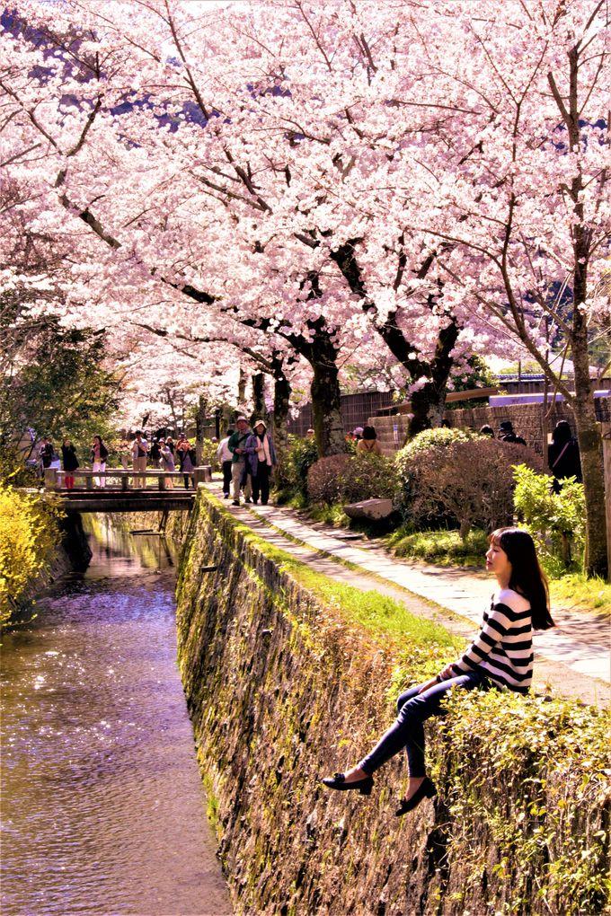 外国人新婚旅行者の姿も!疎水の小道がすべて桜色「哲学の道」