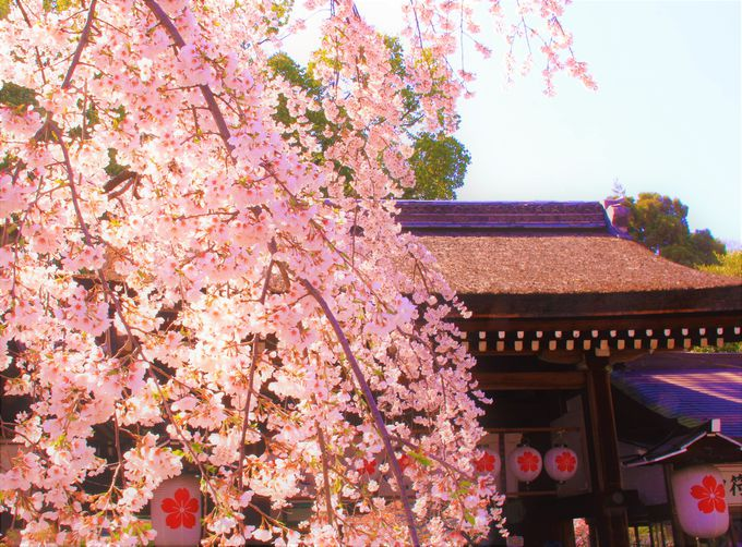 桜が1カ月間も楽しめる!京都「平野神社」