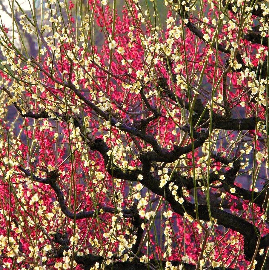艶やかな薄紅色。道真のが愛してやまなかった梅の花が凛として咲いが美しい梅の花