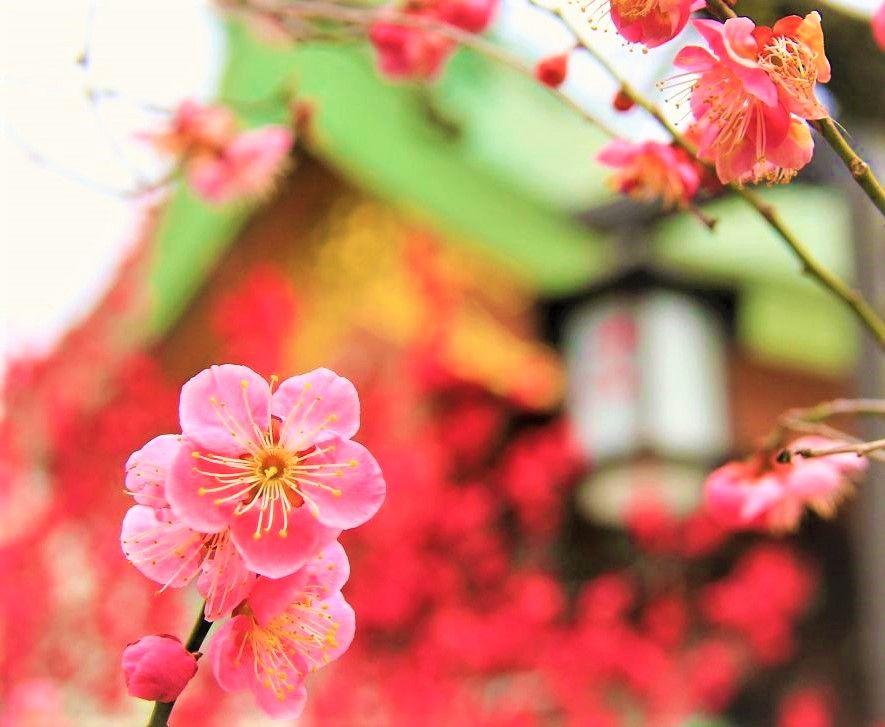 春な忘れそ!飛梅伝説「京都・北野天満宮」梅の花に道真想う