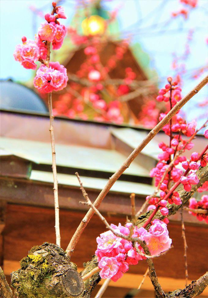 京都・北野天満宮は梅の名所!飛梅伝説の「紅和魂梅」も