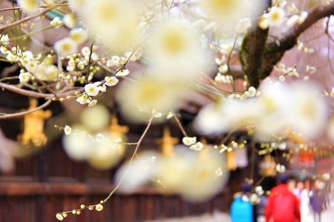 京都・北野天満宮で咲き誇る梅の花