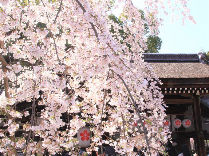 平野神社発祥の早咲きの桜!「魁桜」は3月中旬ごろにも開花