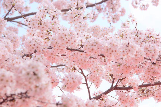 京都「平野神社」へのアクセス、行き方、場所、駐車場は?