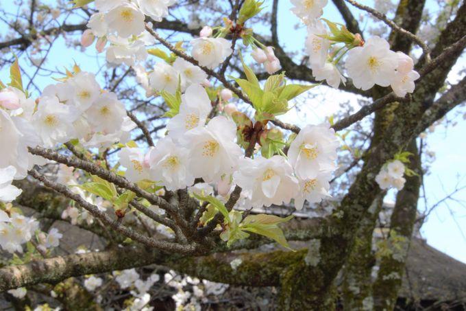 平野神社の名桜!「平野寝覚」「胡蝶」は4月上旬に開花