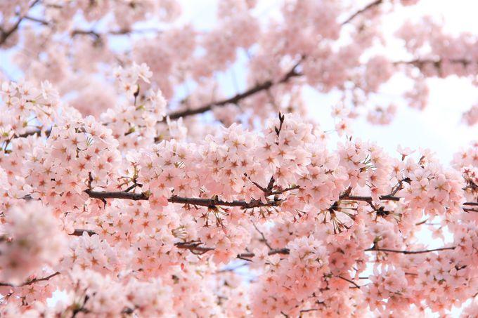 「桜苑」は平野神社の見どころ!3月下旬からソメイヨシノが開花、4月上旬に満開へ