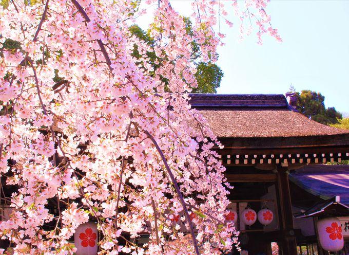 金閣寺から徒歩15分:平野神社