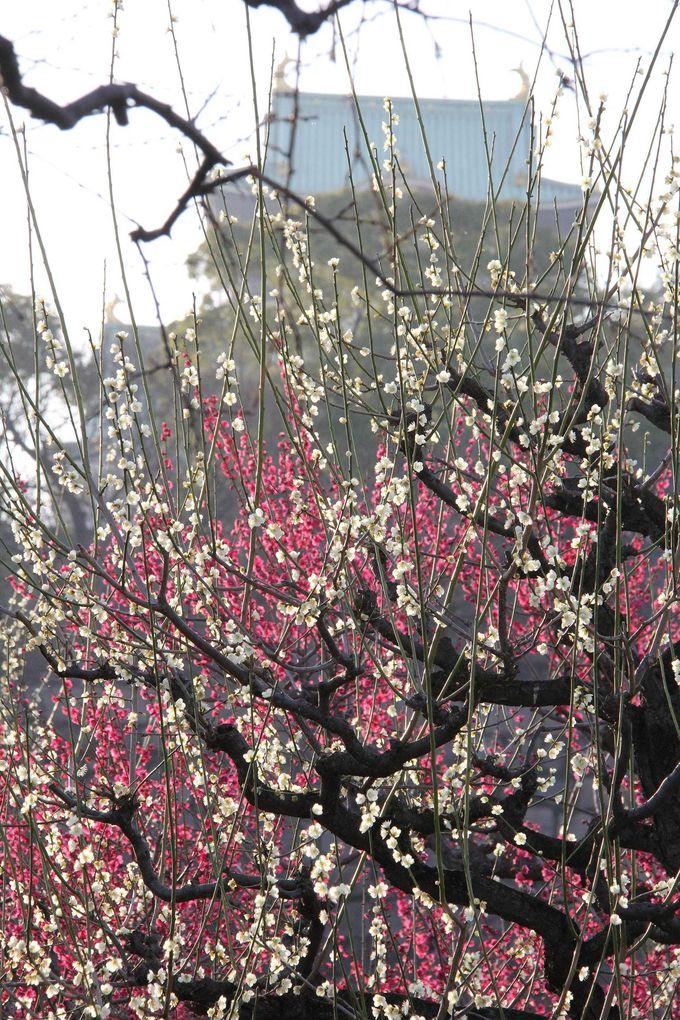 大阪城天守閣に梅の花が映える