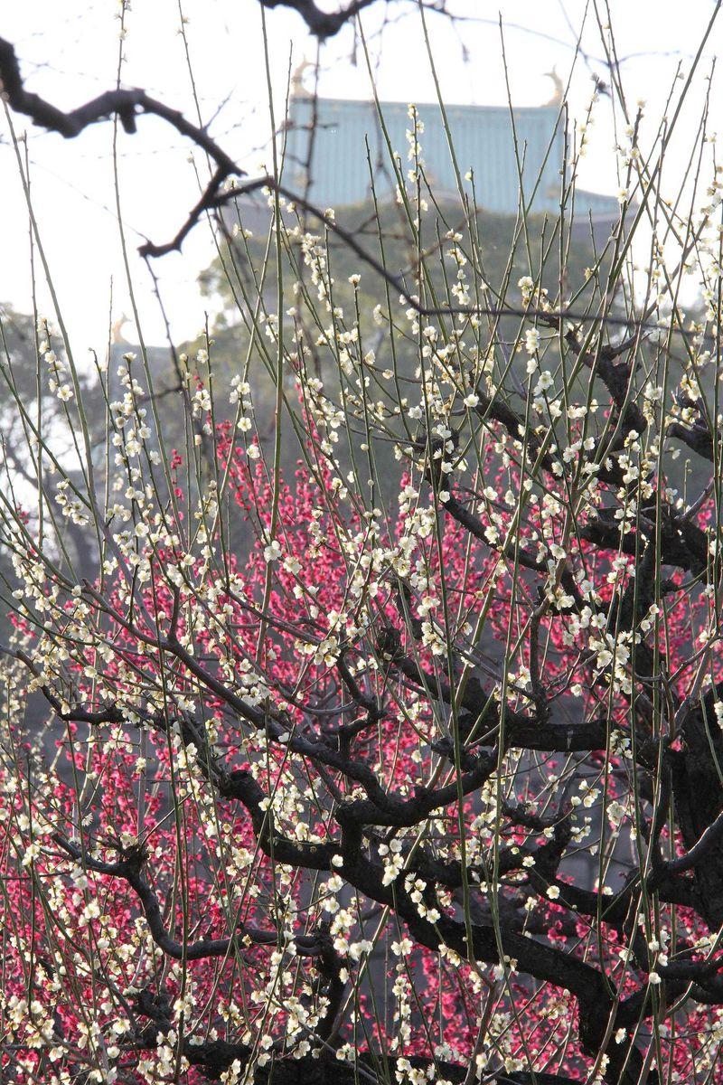 春到来! 大阪城の梅林が一斉に開花