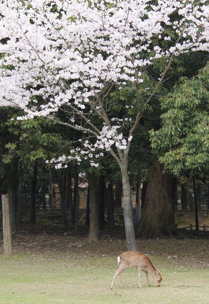奈良公園の鹿は神の使い