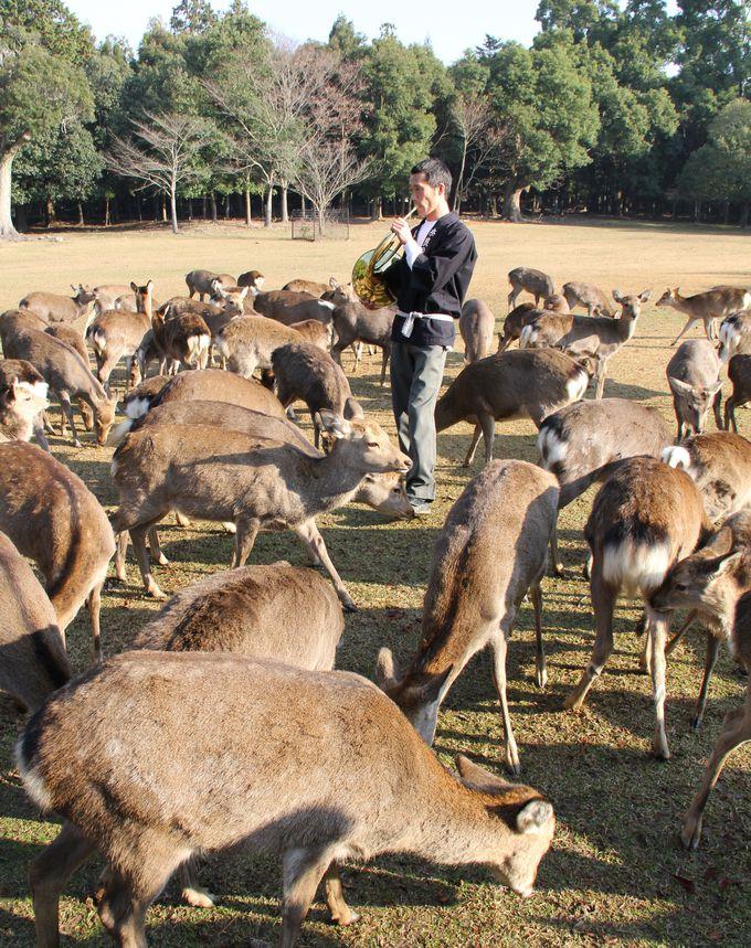 奈良の風物詩、鹿寄せ