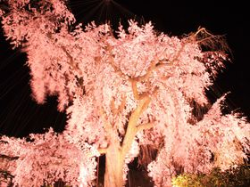 """京都の夜桜は混んでいても祇園!""""祇園の夜桜""""は絶世の美女"""