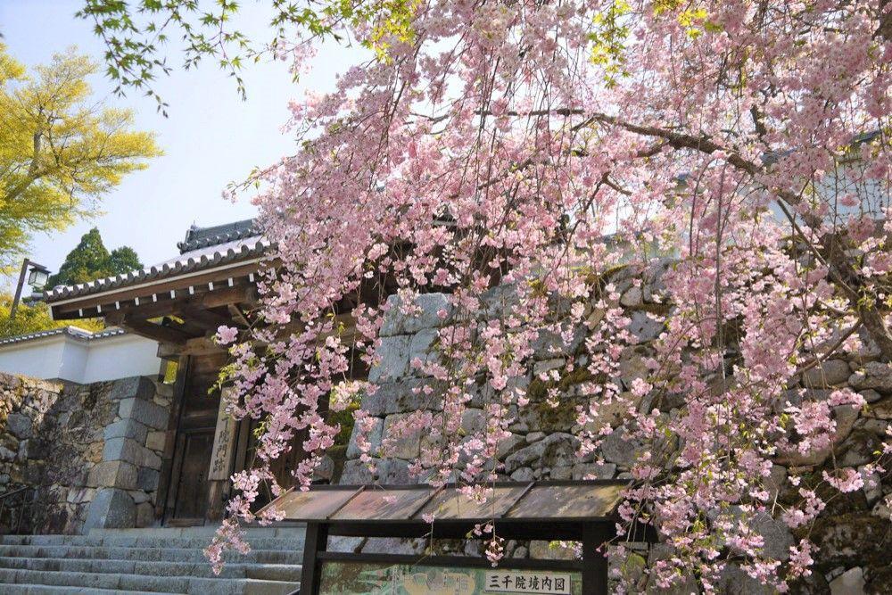 遅咲きの桜!4月中旬まで桜が楽しめる京都の観光名所「仁和寺」「鞍馬寺」「大原・三千院」