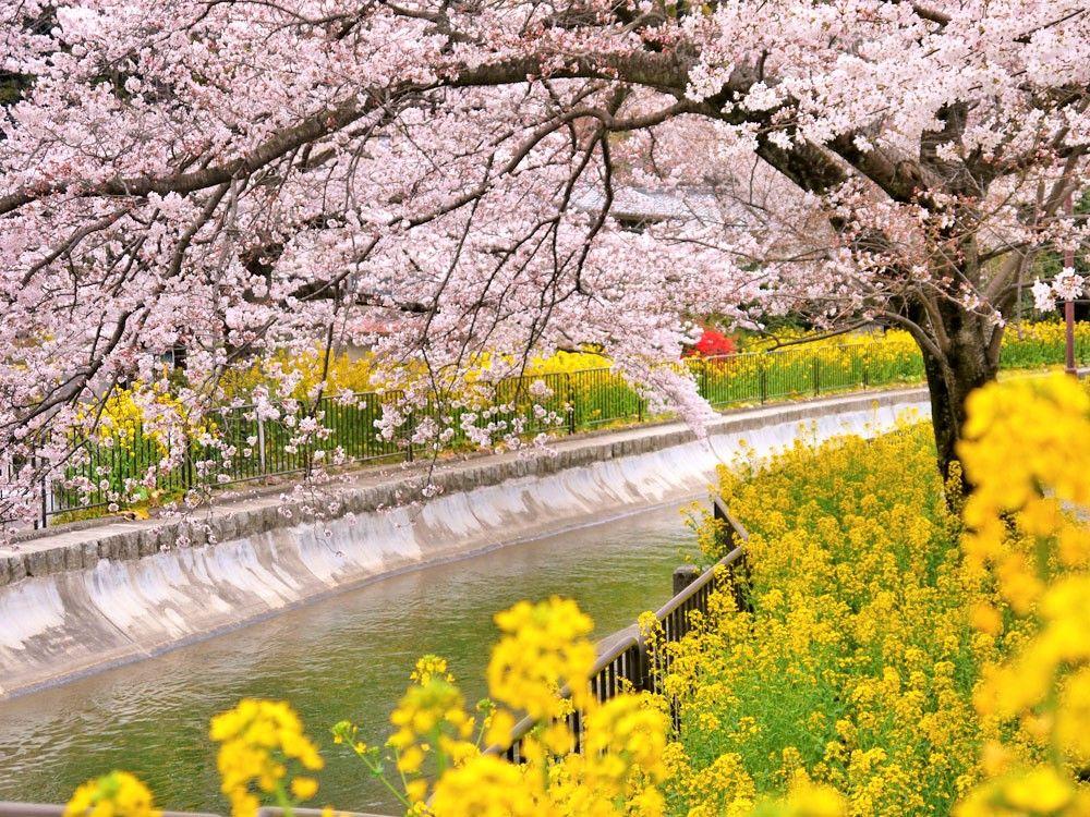 京都観光でおすすめ!桜の穴場スポット「半木の道」「蹴上インクライン」「山科の琵琶湖疎水」