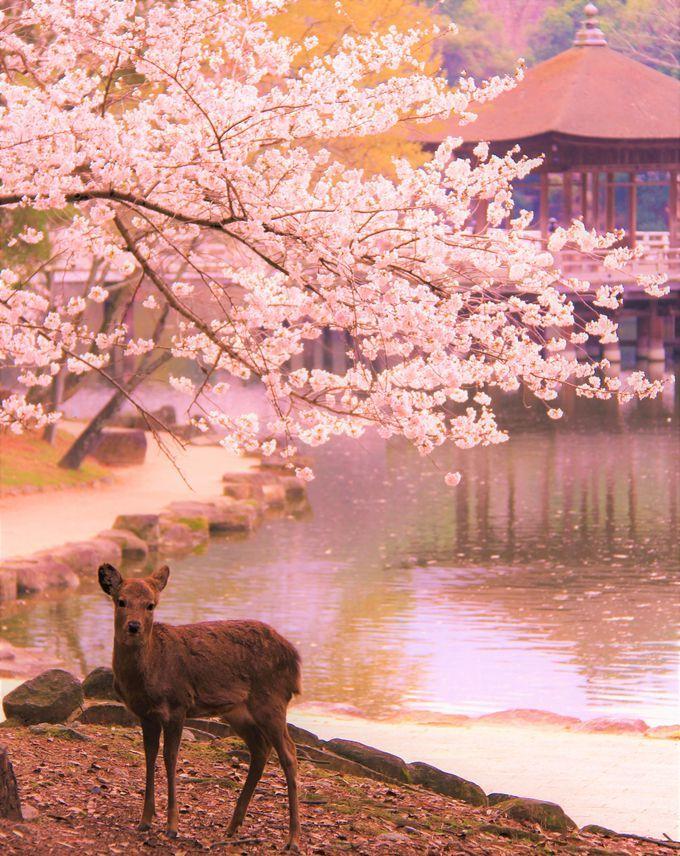 桜や紅葉の穴場のスポット!「飛火野(とびひの)」「浮見堂」でのんびり