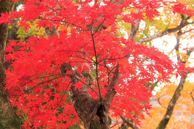 秋の夜間特別拝観!紅葉のライトアップも美しい!清水寺/高台寺/宝厳院