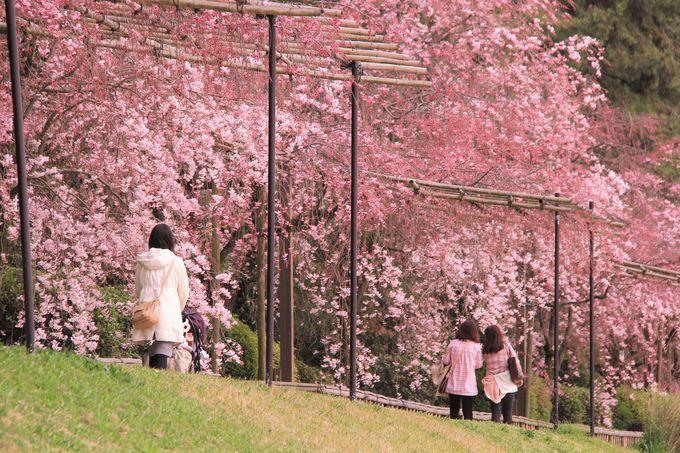 桜の名所!半木(なからぎ)の道・鴨川(賀茂川)ハイキングコース