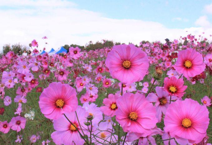 大阪・万博記念公園のコスモスフェスタ2018