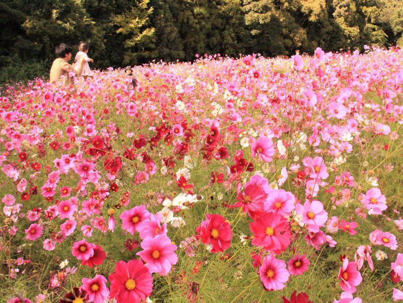 子供は70円!万博公園コスモスフェスタ2018の開花状況&見頃時期