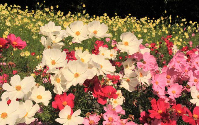 大阪万博公園のコスモスフェスタ〜2017年の開花状況&見ごろ、渋滞回避のコツは?