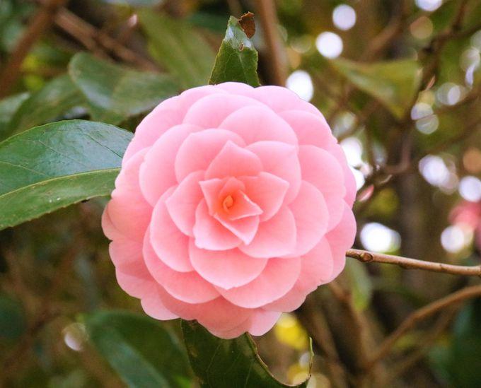 乙女椿、白モクレン、隅屋桜…弘川寺は花の聖地