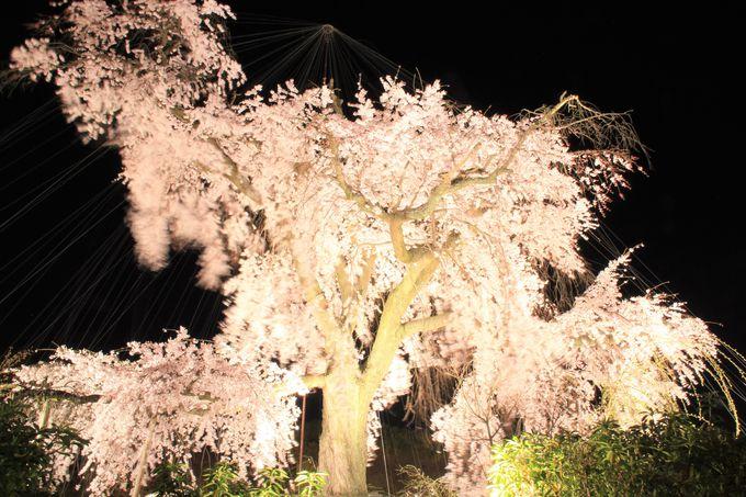"""""""祇園の夜桜""""としても有名な祇園枝垂れ桜「京都・円山公園」"""