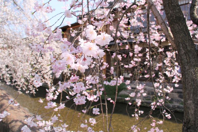 京町屋を彩るピンクの桜と新緑の柳!祇園・白川南通