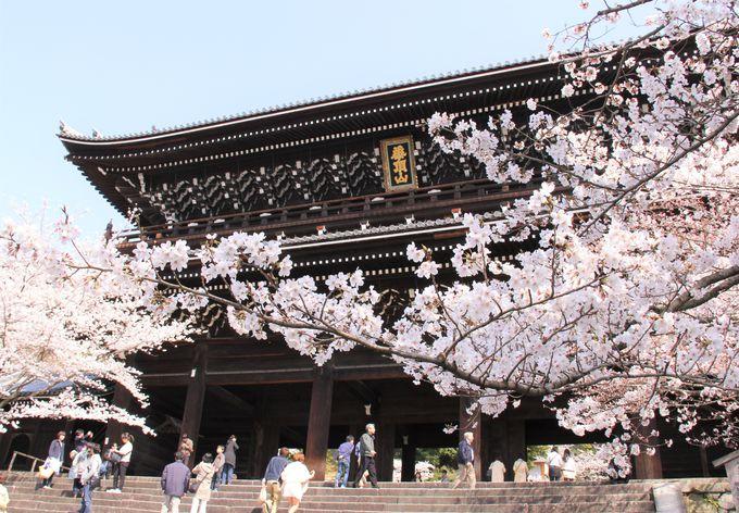 国宝の三門と桜のコントラストが美しい「知恩院」