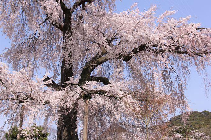 """""""祇園の夜桜""""としても有名な枝垂れ桜「京都・円山公園」"""