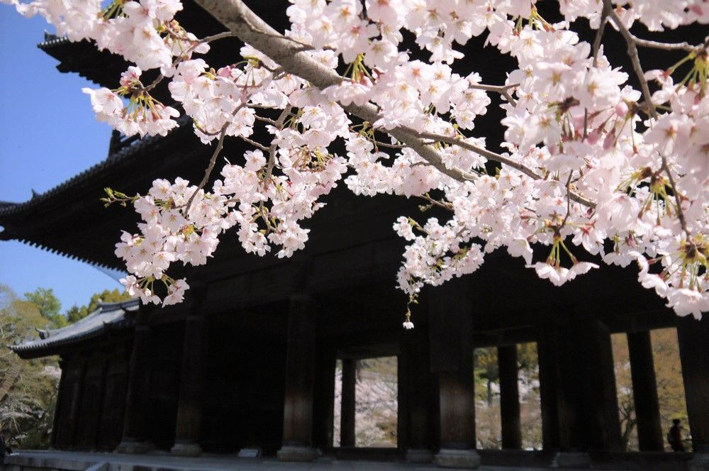 桜の紅色が映える南禅寺