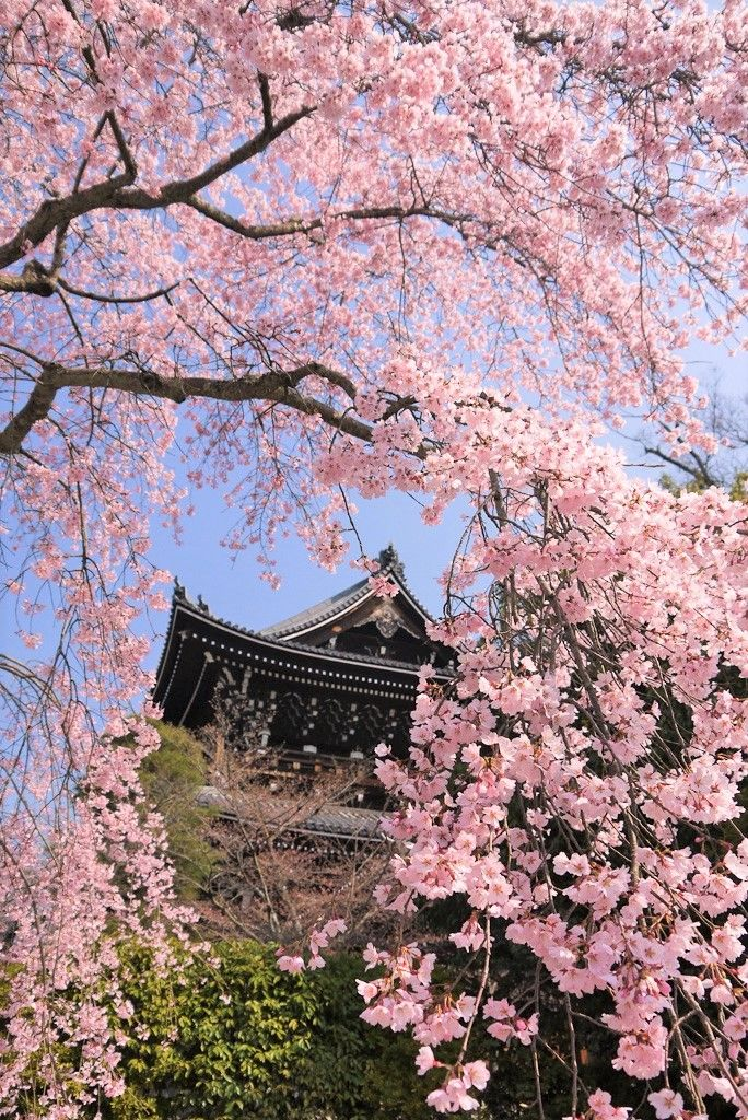 桜の穴場スポットの知恩院