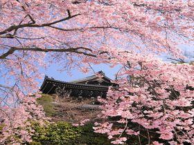京都おすすめの観光所巡り!祇園〜哲学の道へ桜の名所コース
