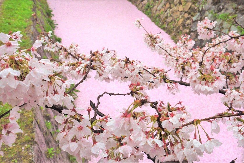京都の桜スポットランキングで人気の「哲学の道」