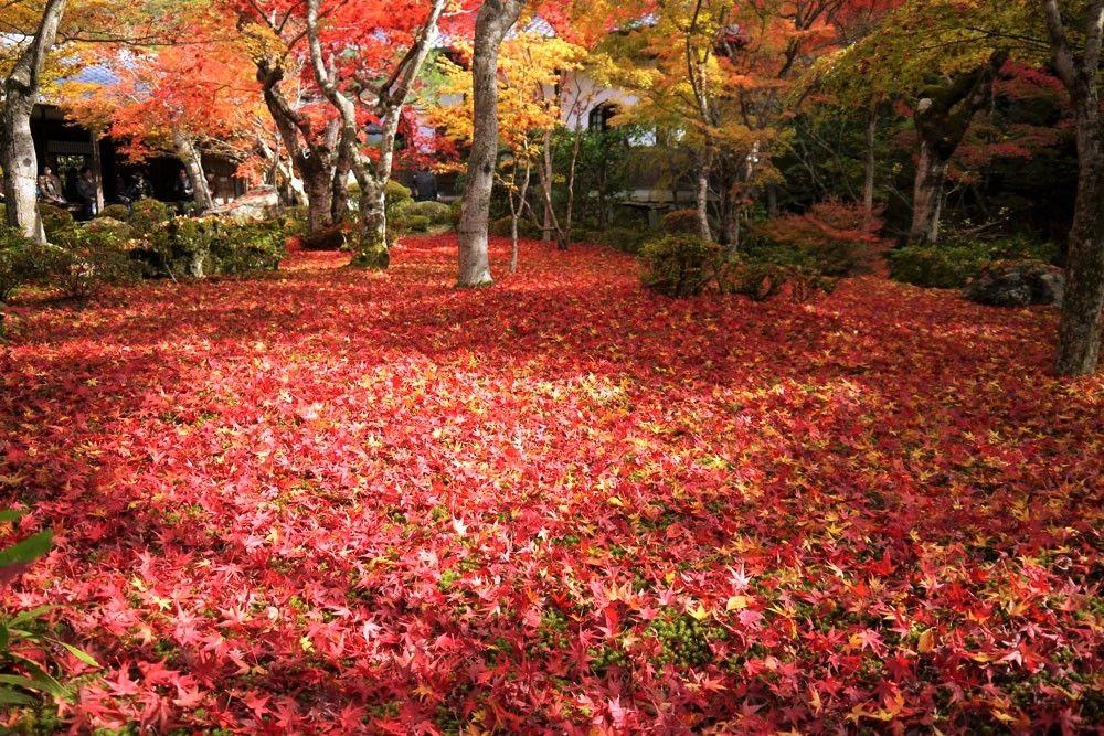 散紅葉・敷き紅葉の名所!京都・圓光寺