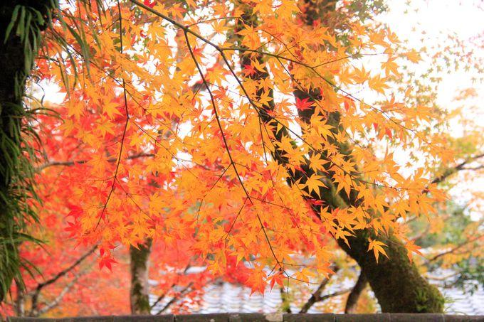 京都・嵐山の紅葉名所!宝厳院の「獅子吼の庭」