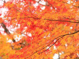 """京都の紅葉名所・嵐山「宝厳院」""""秋の特別拝観""""はおすすめ"""