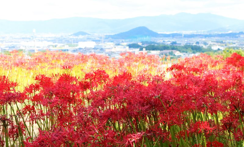 古刹と彼岸花の名所!奈良・葛城古道でのんびりハイキング
