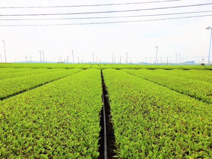 牧之原台地の絶景茶畑も、まだまだ序の口