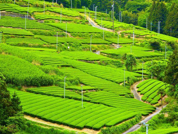 いよいよ絶景茶畑ハイライト!旧東海道・小夜の中山