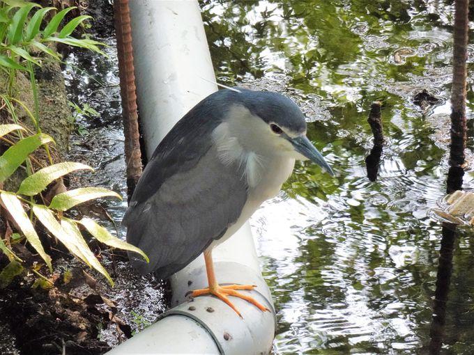 井の頭「モネの池」の魅力は都会から極近で豊かな自然環境