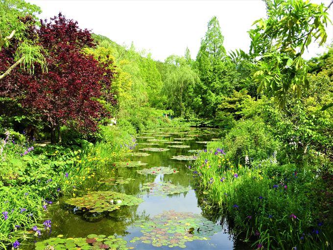 「かいぼり」による環境改善で「モネの池」へと変化?