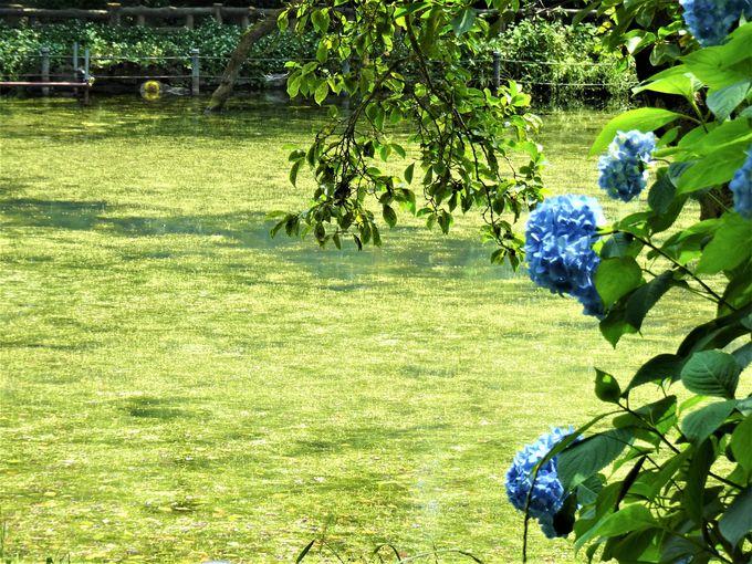 井の頭公園「モネの池」のめぐり方