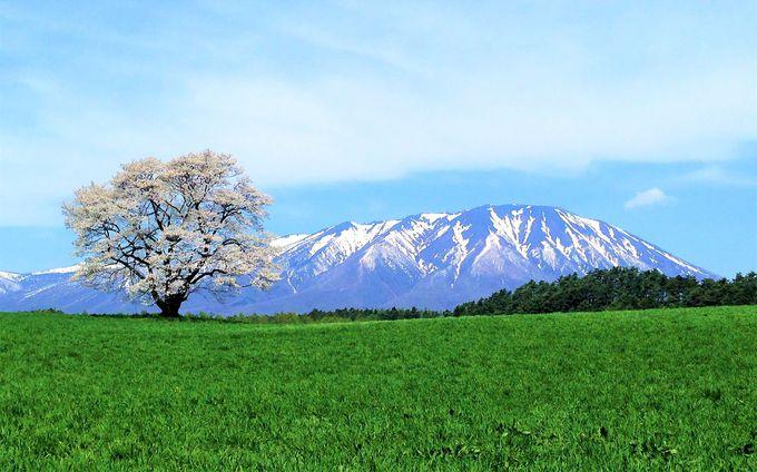第3幕、いよいよ絶景の一本桜に出会う。