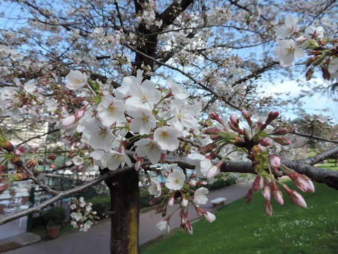 日本の桜の花がもたらしたもの。