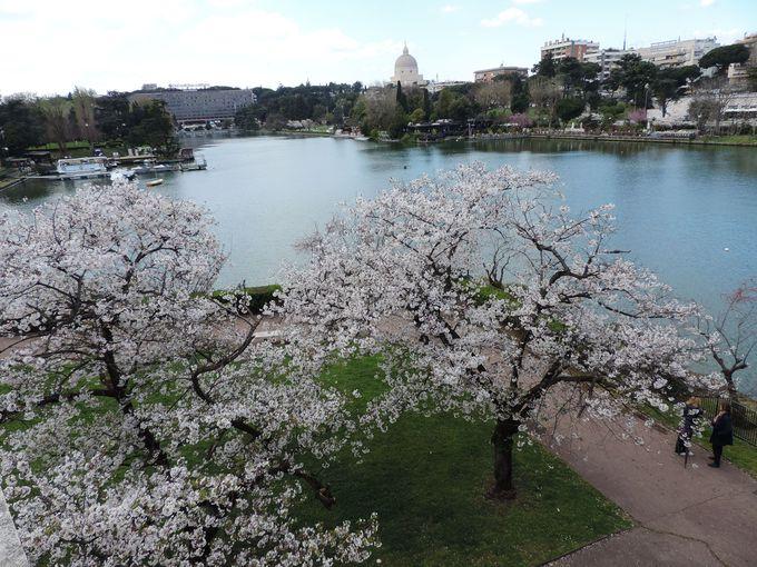 異国で逞しく咲く桜は日本からのプレゼント!