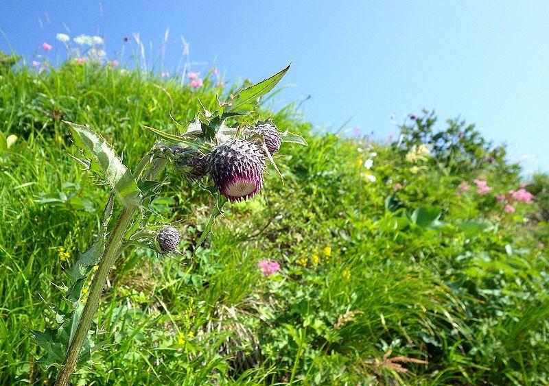 素朴であるが美しい高山植物に出会える「白馬Alps花三味」のトレッキングルートは天国への道