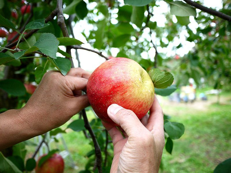 食べ放題のりんご狩りがたった500円!群馬の原田農園に行こう!